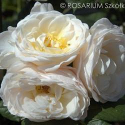 Róża 'Uetersener Klosterrose'