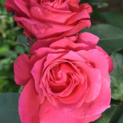 Róża 'Venrosa'