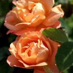 Róża 'Westerland'