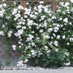 Róża 'White New Dawn'