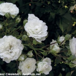 Róża 'White The Fairy'
