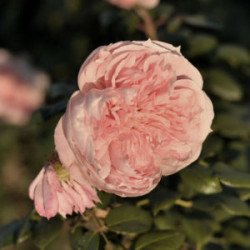 Róża 'Zaide'