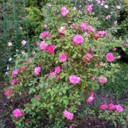 Róża 'Zéphirine Drouhin'
