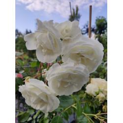 Róża 'Schneewalzer'