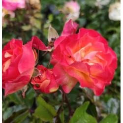 Róża 'Firebird'