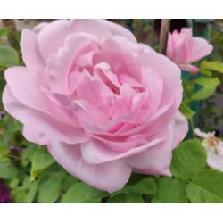 Róża 'Baronesse Rothschild'