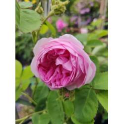 Róża mchowa 'Cristata'