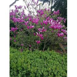 Magnolia'Susan'