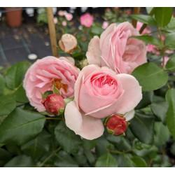 Róża 'Giardina'