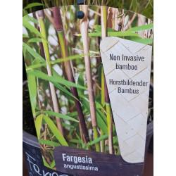 Bambus - Fargesia angustissima