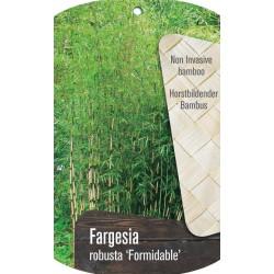 Bambus - Fargesia robusta...