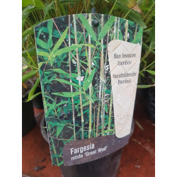 Bambus - Fargesia nitida...