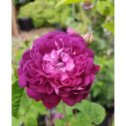 Róża 'Cardinal de Richelieu'
