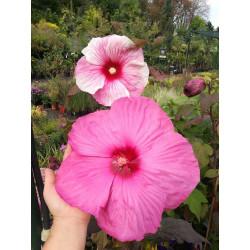 Ketmia bagienna (Hibiscus...
